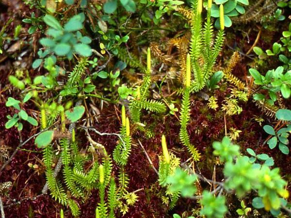 Stiff Clubmoss (Lycopodium Annotinum) http://www.sagebud.com/stiff-clubmoss-lycopodium-annotinum