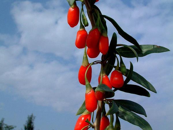 Matrimony Vine (Lycium Barbarum) http://www.sagebud.com/matrimony-vine-lycium-barbarum