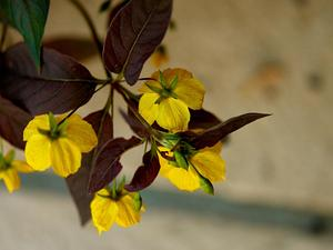 LYCI/Lysimachia_ciliata_Firecracker_A_300.jpg
