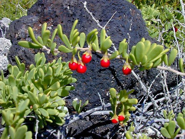 Desert-Thorn (Lycium) http://www.sagebud.com/desert-thorn-lycium