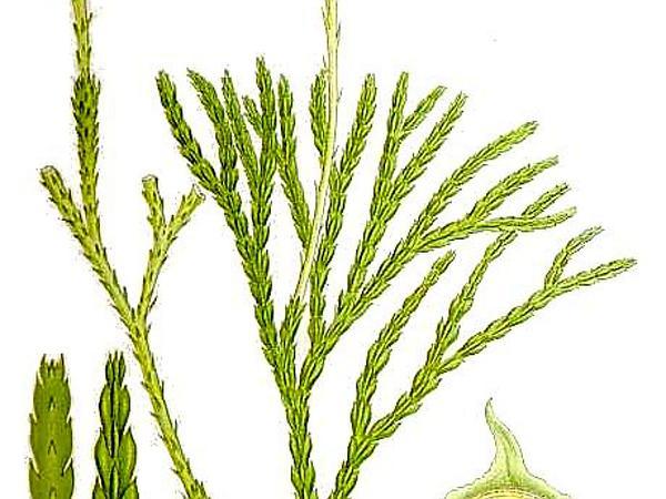 Groundcedar (Lycopodium Complanatum) http://www.sagebud.com/groundcedar-lycopodium-complanatum