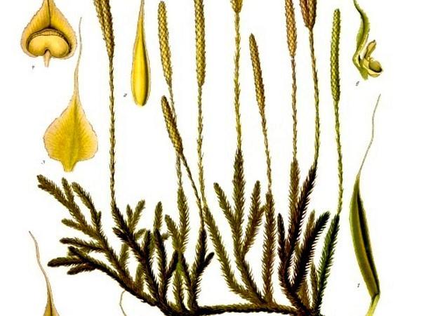 Clubmoss (Lycopodium) http://www.sagebud.com/clubmoss-lycopodium/