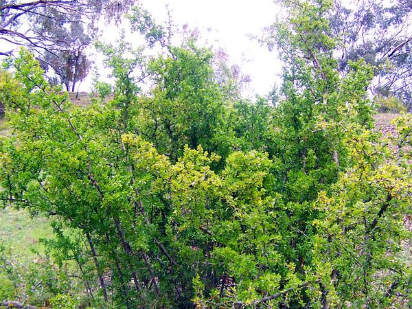 African Boxthorn (Lycium Ferocissimum) http://www.sagebud.com/african-boxthorn-lycium-ferocissimum