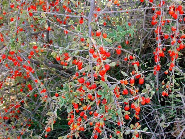 Fremont's Desert-Thorn (Lycium Fremontii) http://www.sagebud.com/fremonts-desert-thorn-lycium-fremontii