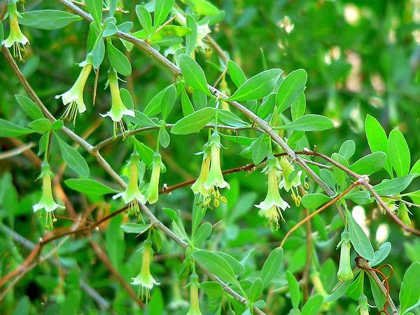 Pale Desert-Thorn (Lycium Pallidum) http://www.sagebud.com/pale-desert-thorn-lycium-pallidum