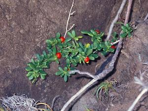 Hawai'I Desert-Thorn