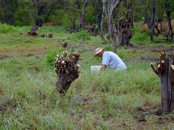 Hawai'I Desert-Thorn (Lycium Sandwicense) http://www.sagebud.com/hawaii-desert-thorn-lycium-sandwicense/