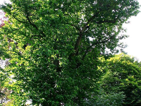 Cucumber-Tree (Magnolia Acuminata) http://www.sagebud.com/cucumber-tree-magnolia-acuminata