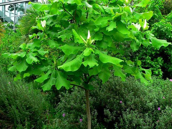 Ashe's Magnolia (Magnolia Ashei) http://www.sagebud.com/ashes-magnolia-magnolia-ashei