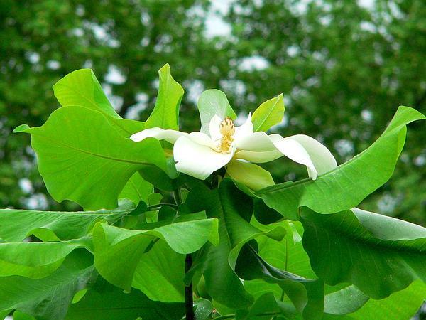 Ashe's Magnolia (Magnolia Ashei) http://www.sagebud.com/ashes-magnolia-magnolia-ashei/