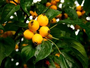 MABA/Malus-baccata-yellw-fruits_300.jpg