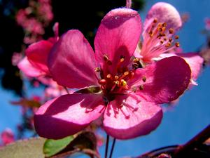 MACO5/Crab_apple_flower_300.jpg