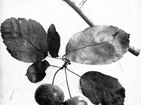 Sweet Crab Apple (Malus Coronaria) http://www.sagebud.com/sweet-crab-apple-malus-coronaria