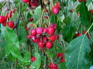 MAFL80/Crabapples_300.JPG