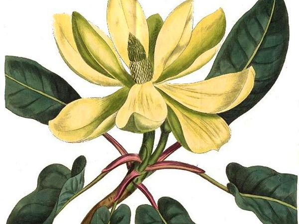 Mountain Magnolia (Magnolia Fraseri) http://www.sagebud.com/mountain-magnolia-magnolia-fraseri
