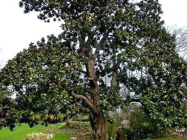 Magnolia (Magnolia) http://www.sagebud.com/magnolia-magnolia