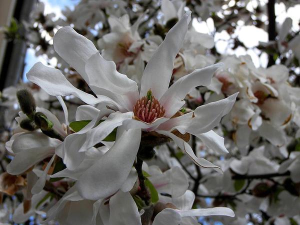 Magnolia (Magnolia) http://www.sagebud.com/magnolia-magnolia/