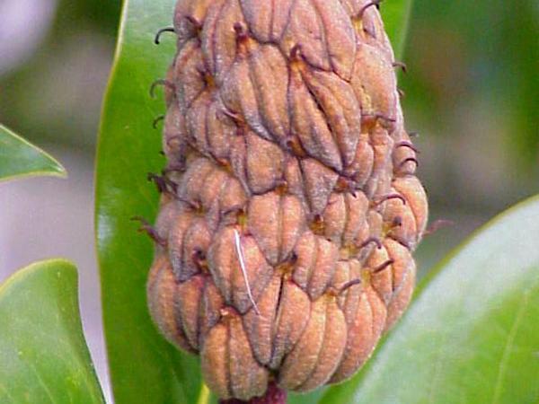 Southern Magnolia (Magnolia Grandiflora) http://www.sagebud.com/southern-magnolia-magnolia-grandiflora/