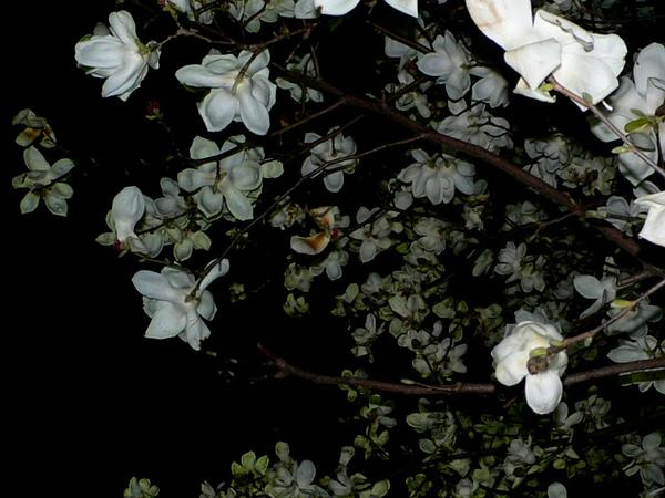 Kobus Magnolia (Magnolia Kobus) http://www.sagebud.com/kobus-magnolia-magnolia-kobus