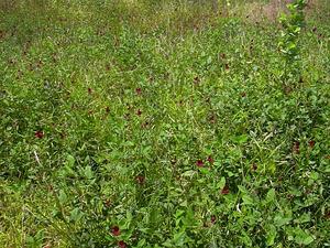 Wild Bushbean