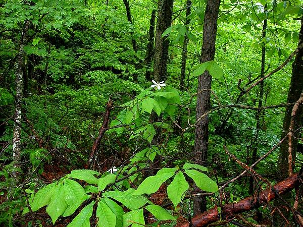 Bigleaf Magnolia (Magnolia Macrophylla) http://www.sagebud.com/bigleaf-magnolia-magnolia-macrophylla