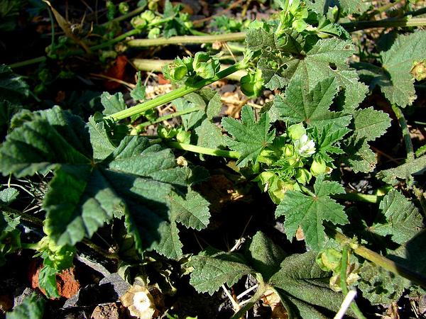 Cheeseweed Mallow (Malva Parviflora) http://www.sagebud.com/cheeseweed-mallow-malva-parviflora/
