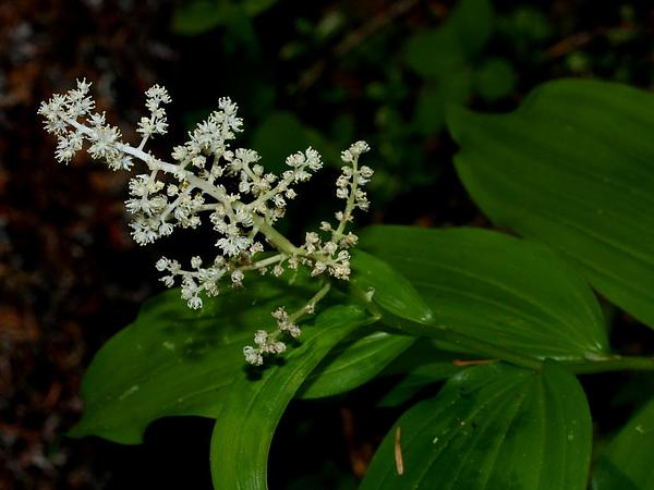 Feathery False Lily Of The Valley (Maianthemum Racemosum) http://www.sagebud.com/feathery-false-lily-of-the-valley-maianthemum-racemosum