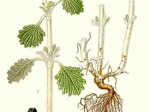 Horehound (Marrubium)