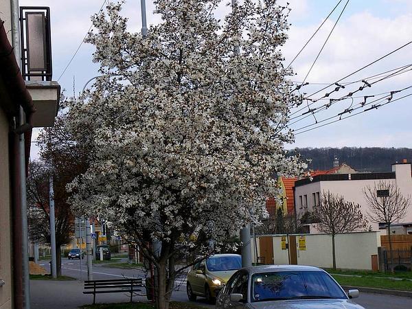 Star Magnolia (Magnolia Stellata) http://www.sagebud.com/star-magnolia-magnolia-stellata