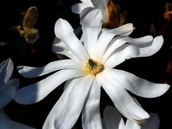Star Magnolia (Magnolia Stellata) http://www.sagebud.com/star-magnolia-magnolia-stellata/