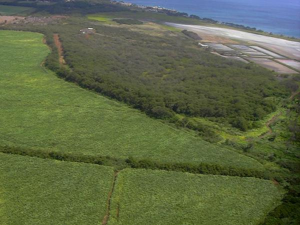 Parasol Leaf Tree (Macaranga Tanarius) http://www.sagebud.com/parasol-leaf-tree-macaranga-tanarius/