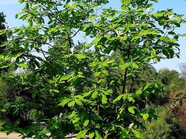 Umbrella-Tree (Magnolia Tripetala) http://www.sagebud.com/umbrella-tree-magnolia-tripetala/