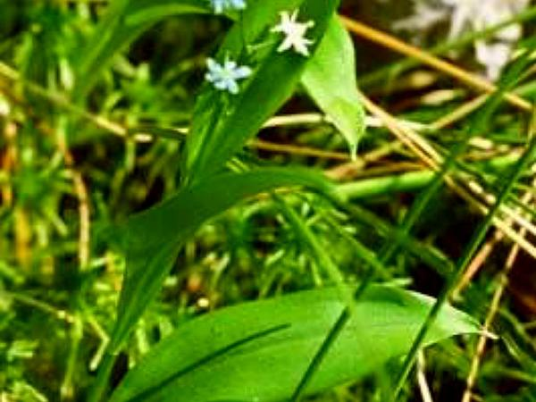 Threeleaf False Lily Of The Valley (Maianthemum Trifolium) http://www.sagebud.com/threeleaf-false-lily-of-the-valley-maianthemum-trifolium