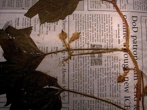Hairy Woodrose (Merremia Aegyptia) http://www.sagebud.com/hairy-woodrose-merremia-aegyptia/