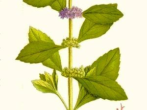MEAR4/88_Mentha_arvensis_300.jpg