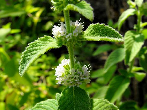 Wild Mint (Mentha Arvensis) http://www.sagebud.com/wild-mint-mentha-arvensis