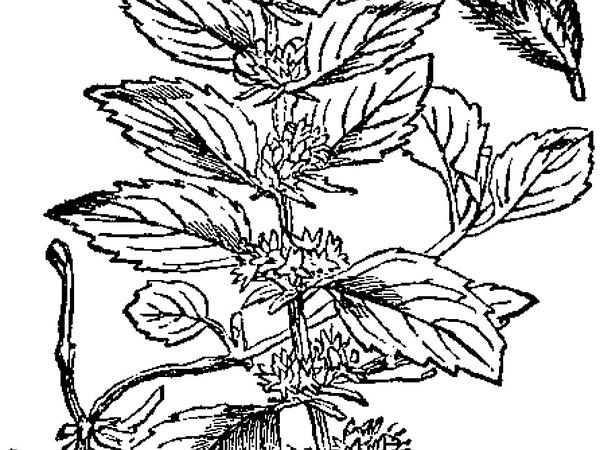 Wild Mint (Mentha Arvensis) http://www.sagebud.com/wild-mint-mentha-arvensis/