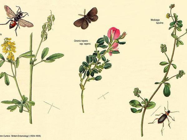Alfalfa (Medicago) http://www.sagebud.com/alfalfa-medicago