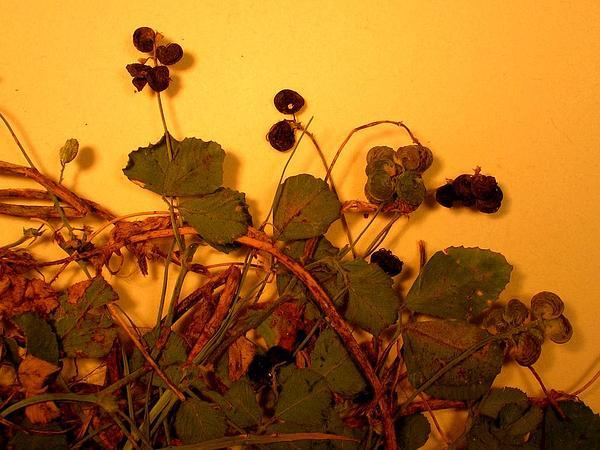Black Medick (Medicago Lupulina) http://www.sagebud.com/black-medick-medicago-lupulina