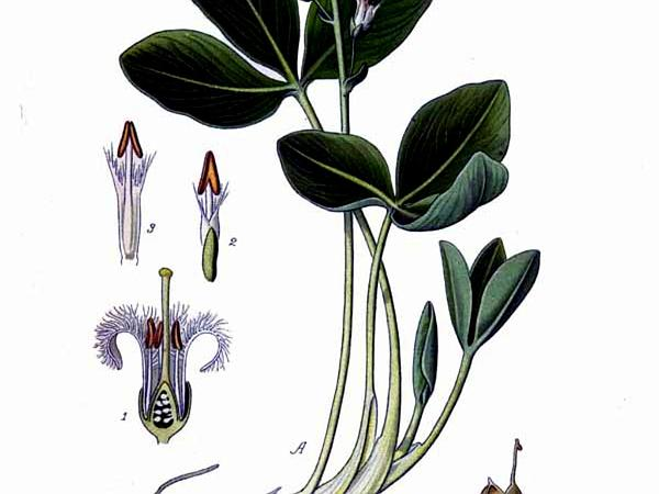 Buckbean (Menyanthes)