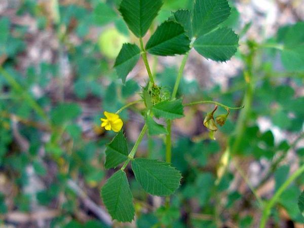 Blackdisk Medick (Medicago Orbicularis) http://www.sagebud.com/blackdisk-medick-medicago-orbicularis