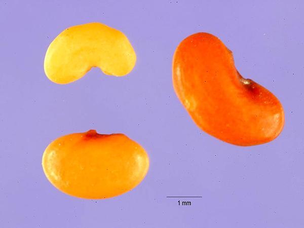 Burclover (Medicago Polymorpha) http://www.sagebud.com/burclover-medicago-polymorpha