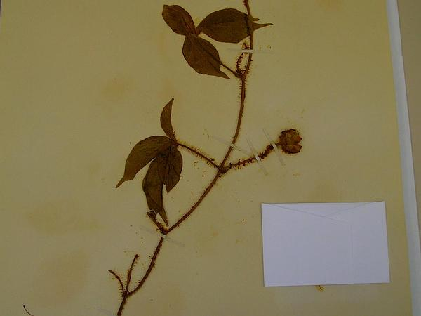 Woodrose (Merremia) http://www.sagebud.com/woodrose-merremia/