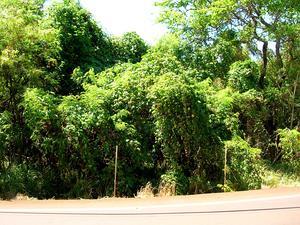 Spanish Arborvine