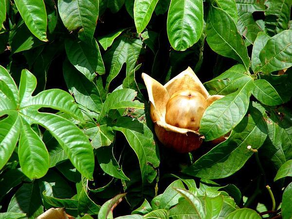 Spanish Arborvine (Merremia Tuberosa) http://www.sagebud.com/spanish-arborvine-merremia-tuberosa