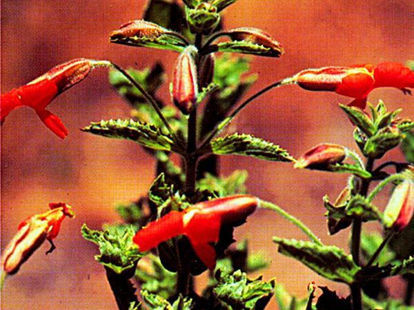 Scarlet Monkeyflower (Mimulus Cardinalis) http://www.sagebud.com/scarlet-monkeyflower-mimulus-cardinalis