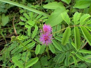 Giant False Sensitive Plant