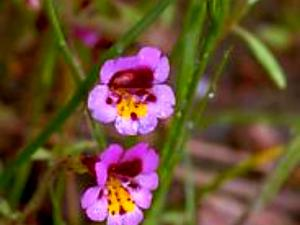 Slenderstem Monkeyflower