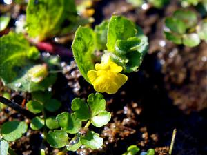 Roundleaf Monkeyflower