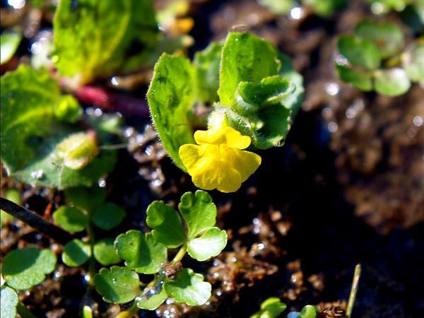 Roundleaf Monkeyflower (Mimulus Glabratus) http://www.sagebud.com/roundleaf-monkeyflower-mimulus-glabratus/